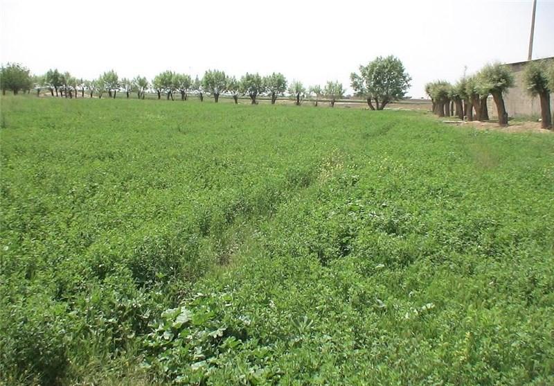 170 هزار تن یونجه از مزارع نهاوند برداشت می شود