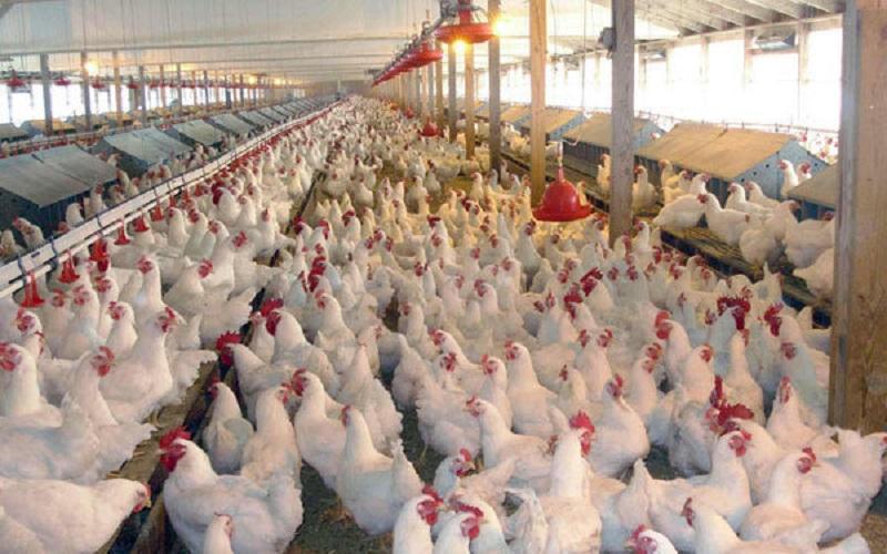 قیمت مرغ رکورد شکست