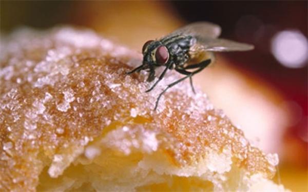 چرا باید خوراکی هایی که روی آن مگس نشسته را نخوریم