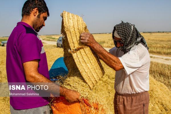 خرید بیش از 1900 تن گندم بذری گواهی شده از کشاورزان لرستان